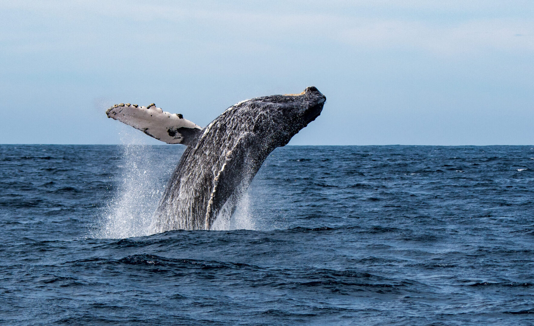 A humpback whale leaping, or breaching, out of the Sea of Cortez (Gulf of California) , Mexico, spraying water as it does so